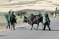 Zebu near Gondar.jpg