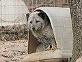 Zoo des 3 vallées - Renard polaire - 2015-01-02 - i3378.jpg