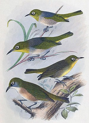 Robust white-eye - By Henrik Gronvold