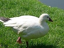 Little snow goose Anser rossii 090501 We 071.JPG