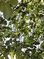 """Цветы"" карагача (ост. Берендеевский лес).jpg"
