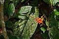 """Dancing Lady"" Ginger (Globba atrosanguinea) (22550092923).jpg"