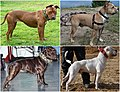 """Pitbull-type"" dogs3.jpg"
