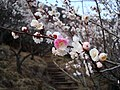 """""""Wachigai"""" prum blossoms in Makuyama-koen park,Yugawara - panoramio.jpg"""