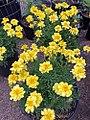 'Alumia Vanilla Cream' marigold.jpg