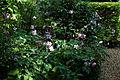 'Anemone hupehensis' cultivar Capel Manor Gardens Enfield London England 2.jpg