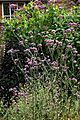 'Verbena bonariensis' in the Walled Garden at Goodnestone Park Kent England 2.jpg