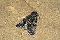 (2278) Poplar Grey (Acronicta megacephala) (3670208538).jpg