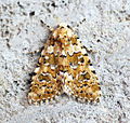 (2293) Marbled Beauty (Cryphia domestica) (14764822506).jpg