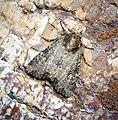 (2343) Common Rustic (Mesapamea secalis) (35119170914).jpg