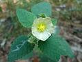 (Sida cordifolia) at Kambalakonda Wildlife Sanctuary 03.JPG
