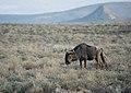 Ñus en Sudáfrica 2.jpg