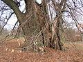 Ötvöskónyi, óriásfa.jpg