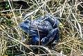 Żaba moczarowa samiec ubarwienie godowe.jpg