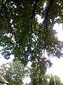 Багатовіковий дуб, Прилуцький район, м. Прилуки,вул. Гірняка,11 (напроти Боброва,35) 74-107-5003 12.jpg