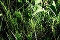 Бобровня Хвощ DSC 0736.jpg