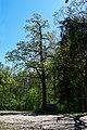 Віковий дуб черещатий DSC 0521.jpg
