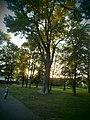Група вікових дубів, Борзна, Чернігівська область.jpg