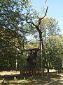 Кочубеевский дуб 2 в Диканьке.JPG