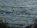 Лебеді та качки.jpg