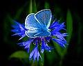 Синявець Ікар (Polyommatus icarus).jpg