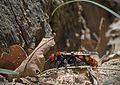 Сколия-гигант - Megascolia maculata - Gelbstirnige Dolchwespe (27565383966).jpg
