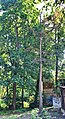 Сосна во дворе дома 17 по улице Минина.jpg