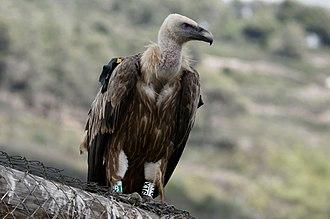 Griffon vulture - Griffon vulture in Hai-Bar reserve mount Carmel