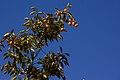 خرمالو-خرمالو روی شاخه-Persimmons.jpg