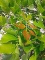 புங்கமரம் 3 ( Millettia pinnata).jpg