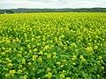 きいろ(Yellow) - panoramio.jpg