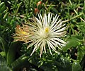 人寶 Trichodiadema mirabile -比利時國家植物園 Belgium National Botanic Garden- (9229861200).jpg