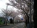 小田原フラワーガーデンの通りの桜並木 - panoramio.jpg