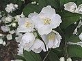 山梅花 Philadelphus Bouquet Blanc -英格蘭 Wisley Gardens, England- (9229876118).jpg
