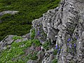 岩に咲く花(Flowers blooming to the rock) - panoramio.jpg