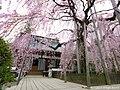 慈雲寺の糸桜(Jiun-ji Temple with Cherry blossoms) 03 Apr, 2016 - panoramio.jpg