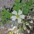 捲耳屬 Cerastium biebersteinii -維也納高山植物園 Belvedere Alpine Garden, Vienna- (28643194973).jpg