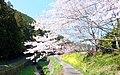 桜と菜の花 - panoramio.jpg