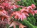 紅葉 Red Leaves - panoramio (3).jpg