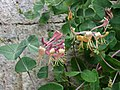 紫莖忍冬 Lonicera x americana -牛津大學植物園 Oxford Botanic Garden- (30029344443).jpg