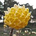 結香(打結花) Edgeworthia chrysantha -南京古林公園 Nanjing Gulin Park, China- (9216097758).jpg