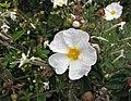 聚繖岩薔薇 Cistus monspeliensis -巴黎植物園 Jardin des Plantes, Paris- (9237448349).jpg