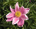 芍藥-粉玉奴 Paeonia lactiflora 'Pink Jade Lady' -北京植物園 Beijing Botanical Garden, China- (12380296473).jpg