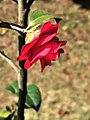 茶花-松子 Camellia japonica 'Songzi'(Pine Cone)20210214180451 09.jpg