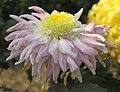 菊花-小粉荷 Chrysanthemum morifolium 'Small Pink Lotus' -中山小欖菊花會 Xiaolan Chrysanthemum Show, China- (11961469533).jpg
