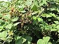 -2018-08-15 Blackberry fruit, Church street, Trimingham.JPG