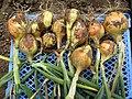 -2020-07-01 Freshly pulled Onion, Trimingham.JPG