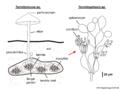 03 02 10 c 2e termite nest, Termitomyces sp., Termitosphaera sp., Agaricales Basidiomycota (M. Piepenbring).png