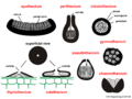 04 03 02 fruiting bodies, Ascomycota (M. Piepenbring).png