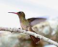 060401 Gilded Saphire hummingbird 2 IB.jpg